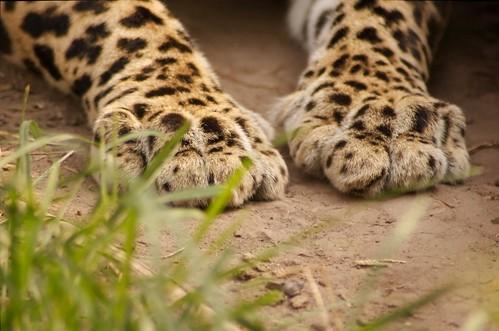 Leopard feet