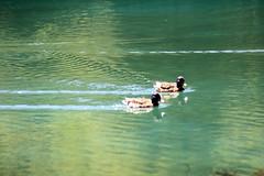 Papere (Alessandra47 D.G.) Tags: lake lago duck italia friuli papere fusine alessandra47 canoneos1000d