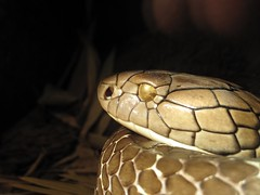 King Cobra (peasap) Tags: canon gold sandiego reptile snake saturday august powershot sandiegozoo snakeeyes coldblooded kingcobra g10 canong10