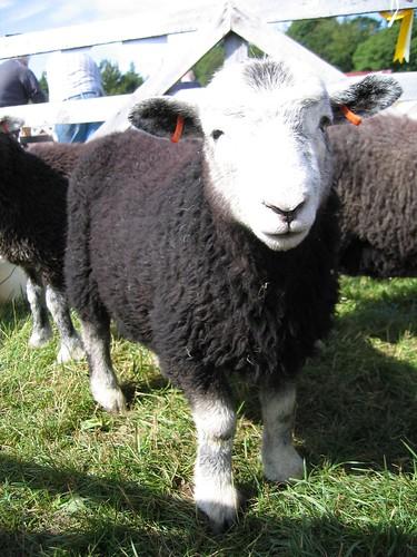 Herdwick lamb