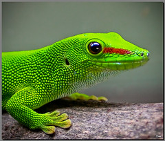 Elo Handsome....... (Lohb) Tags: wild green nature animal canon natural lizard crop species gecko 1740 specanimal 40d thebestofcengizsqueezeme2groups