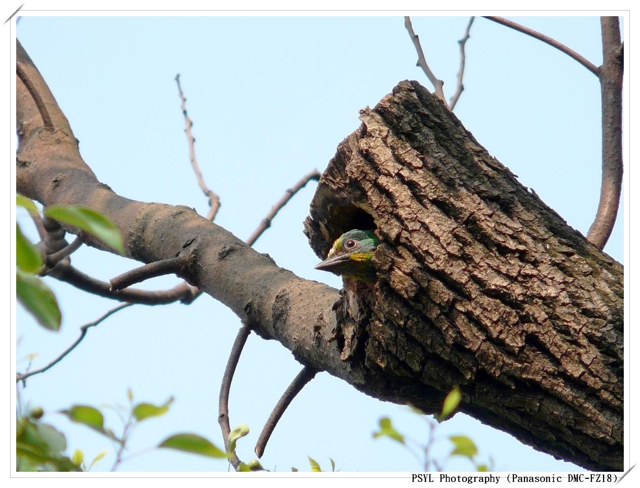 Taiwan Barbet (Megalaima nuchalis) - 五色鳥