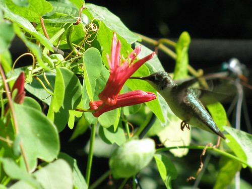 hummingbird and passion flower2