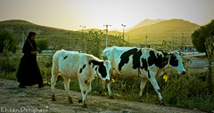 CattleWoman (EhsanD) Tags: old sunset woman cow iran koohrang cheshmeh cattlewoman deymeh
