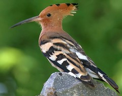 Delhi: Hoopoe (spiderhunters) Tags: india bird upupaepops hoopoe haryana sohna