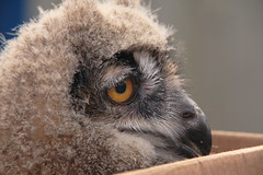 European Eagle Owl (Bubo bubo) (sid_63) Tags: england chocolate lakedistrict owl bubobubo worldowltrust muncastercastle europeaneagleowl