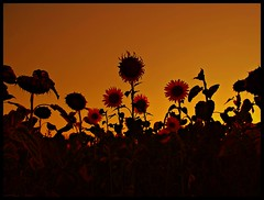 Sunflowers in Orange Sky ;P (JoannaRB2009) Tags: sunset summer sky sun holiday mountains nature field hungary colours village natura hills valley sunflowers fields gmt niebo zachdsoca wgry soneczniki bogacz colorphotoaward platinumheartaward bogasc thebukkmountains
