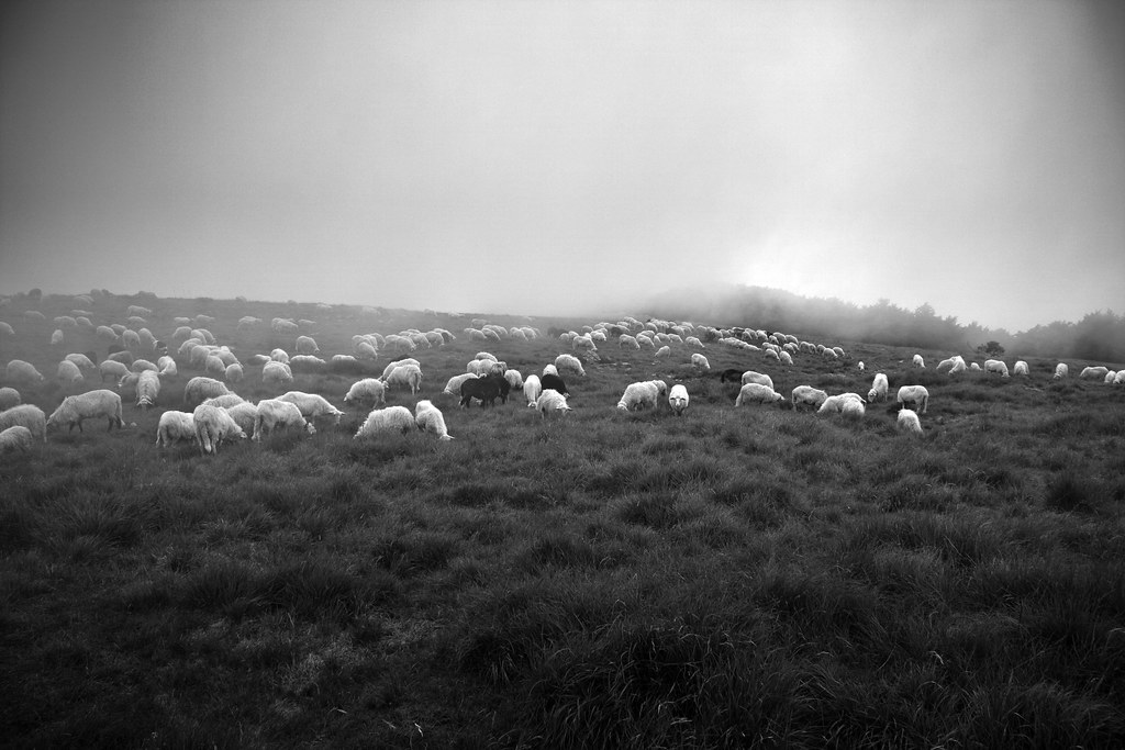 Monte Beigua, Sheeps #2