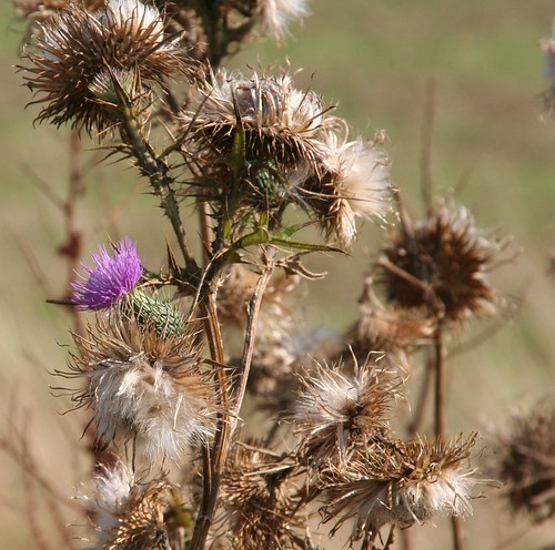 A Lone Thistle Flower