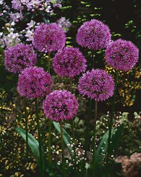 BULB_Allium_Purple_Sensation_Value_Pack