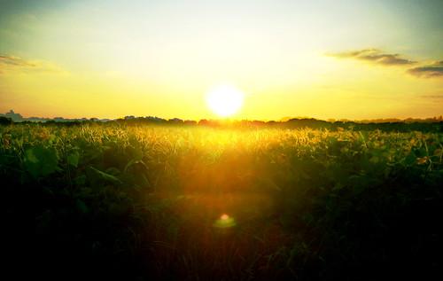 Sunset on the Bean Field.