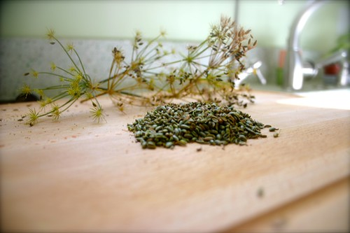 fennel from the garden