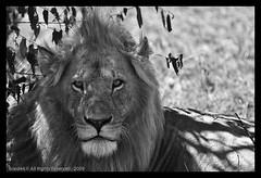 El gat ( Pere Soler) Tags: africa wild geotagged scary kenya lion safari help leon angry simba problems soe kenia masaimara naturesfinest lleo shieldofexcellence marasimbalodge vosplusbellesphotos geo:lon=36092319 geo:lat=0363233