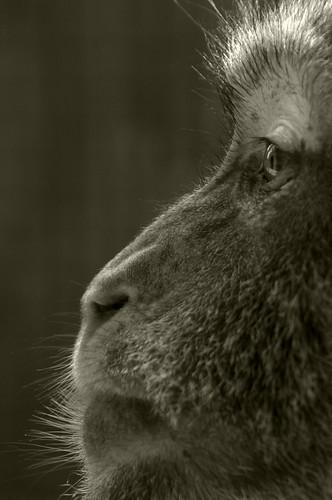 フリー画像| 動物写真| 哺乳類| 猿/サル| モノクロ写真|       フリー素材|