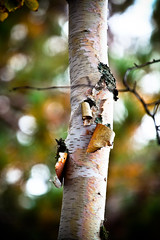 Birch and Bokeh (ktpupp) Tags: camping summer beach up rob lakemichigan lakesuperior kt mackinacbridge picturedrocks 12milebeach ef70200mmf4lusm img4255 canoneosdigitalrebelxsi 2009katesumbler