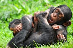 [フリー画像] [動物写真] [哺乳類] [猿/サル] [チンパンジー] [子猿]      [フリー素材]