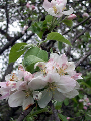 AppleBlossoms_51111k