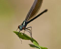 Ebony Jewelwing (Dah Professor) Tags: insect nj swamp greatswamp 2011 wildernessarea thegreatswamp kh0831