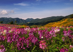 ~ The Color Field ~ (Peem (pattpoom)) Tags: flowers flores field fleurs landscape thailand blumen explore bunga fiori  blommor bloemen blomster bulaklak kwiaty hoa  blm iekler     kvtiny      blthanna theunforgettablepictures   nikkor1224mmf4gedifafs kukkien virgokat