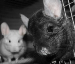 Pink Ears (wisely-chosen) Tags: january midnight chinchillas lightning 2009 picnik selectivecolor pinkears pinkwhitechinchilla extradarkebonychinchilla