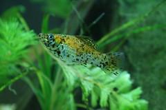 orange fish aquarium molly fishtank tropical freshwater