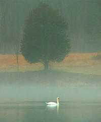 Swan with Atmosphere (Stanley Zimny (Thank You for 16 Million views)) Tags: park autumn mist lake tree bird fall rain fog swan moody foggy ringwood supershot theunforgettablepictures 100commentgroup