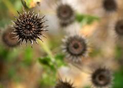Empty seed pods.. (crazykanga) Tags: naturesfinest bigmomma pfogold pfoisland11