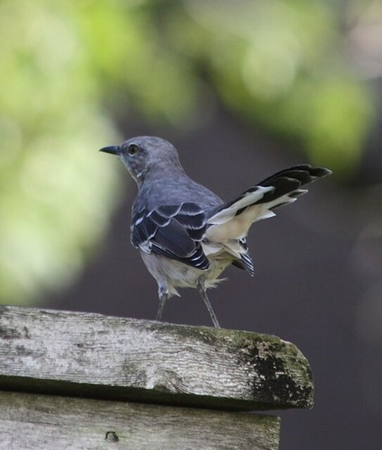 Northern Mockingbird - 9/8/2008
