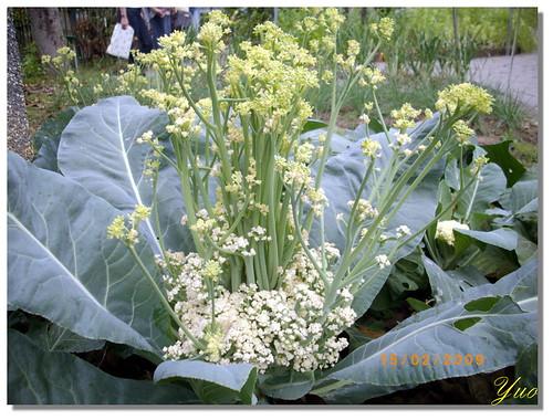 花椰菜開花