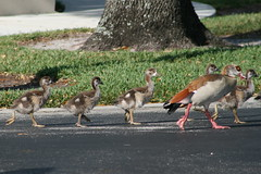 Egyptian Geese - Adult Female and 5 baby chicks (out of 8 total) (mauricholas/ Maureen Leong-Kee) Tags: goslings southflorida egyptiangoose babygeese bocaratonfl egyptiangeesechicks