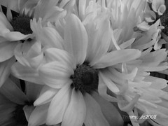For Asif and all my flickr friends (Trinimusic2008 - stay blessed) Tags: flowers friends bw toronto ontario canada flower nature march to 2009 justonelook flickrstars heartawards trinimusic2008 handselectedphotographs