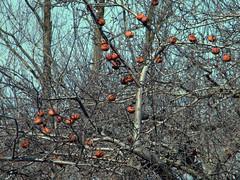 56:365 Dead apples
