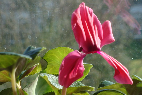 Probably the last cyclamen