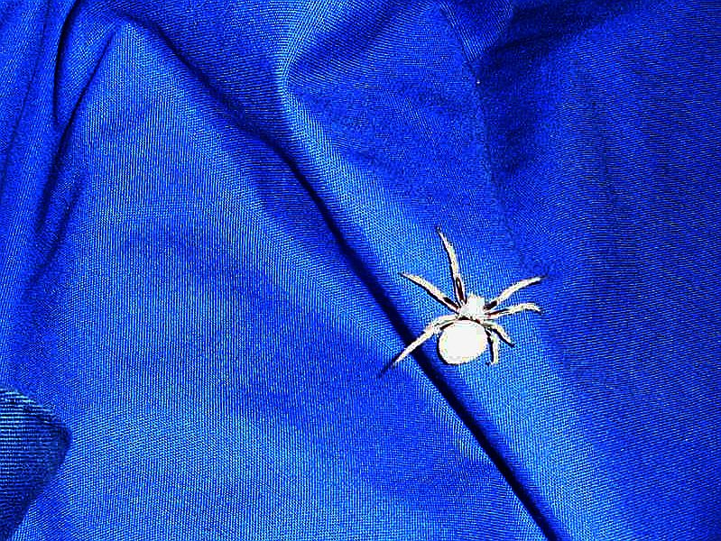 bed spider close up