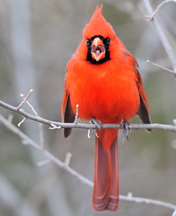 Screaming Cardinal (JRIDLEY1) Tags: red tree branch cardinal soe zenfolio abigfave brightonmichigan thatsclassy nikond3 jridley1 jimridley dailynaturetnc09 httpjimridleyzenfoliocom photocontesttnc10 lifetnc10 jimridleyphotography photocontesttnc11 photocontesttnc12