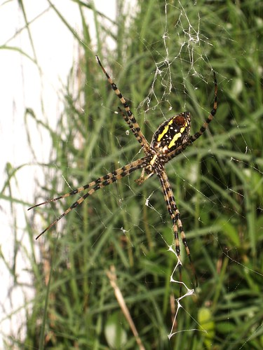 Female Banded Argiope, Ventral View