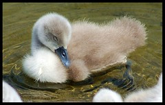 Sleep little cygnet, sleep.... (Levels Nature) Tags: uk england baby cute bird nature bristol swan sleep wildlife cygnet wat