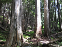 old forest (c'estbonne) Tags: mountain lake tree nature forest montana cabinet hike cedar hemlock stpaullake
