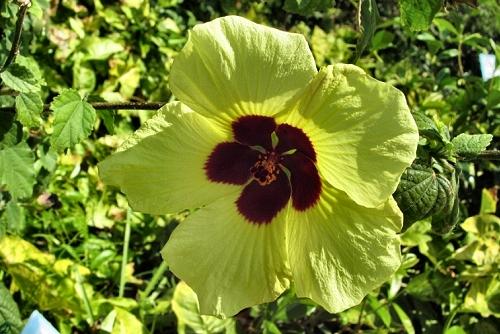Hibiscus calyphyllus (rq) - 01