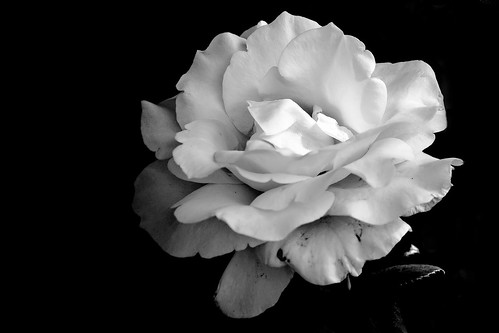 Rose flower in black and white in Stayton Oregon. There is a row of rose
