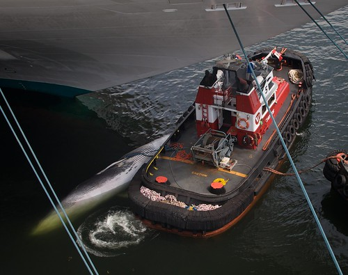 Fin Whale Hit By Cruise Ship Johnbiehler Com