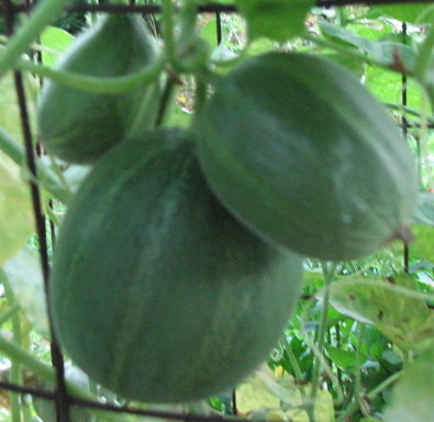 A cluster of mini melons forming on the trellis. They wont exceed 2lbs when ripe.