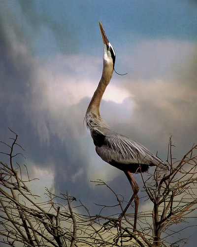 Heron Song