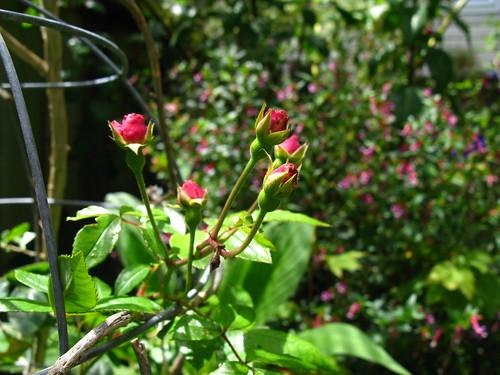 2009-08-01 garden; 'Cornelia'