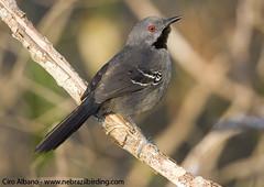 Slender Antbird_Rhopornis ardesiacus