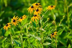 Blackeyed Susans (migrashgrutot) Tags: flowers plants blackeyedsusan