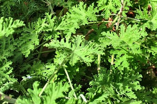 Pelargonium graveolens (rq) - 02
