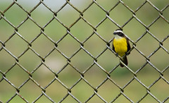 Fenced Flycatcher (Billtacular) Tags: bird nature outdoors wildlife birding july panama birdwatching socialflycatcher myiozetetessimilis ecotourism canopytower thewonderfulworldofbirds ammoponds