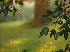Y is for Yard (mags_Tag) Tags: light sunset tree austria licht sonnenuntergang baum beech copperbeech buche oesterreich inmygarden goldregen blutbuche goldenchain ellawheelerwilcox niederoesterreich sunshineandshadow neulengbach