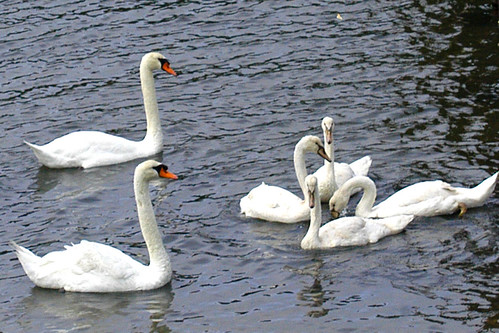 swan children eat first